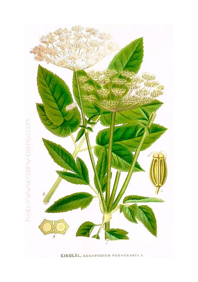 aegopodium-podagraria-planche-botanique-2