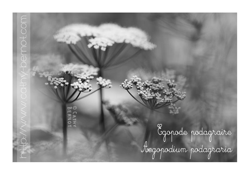 egopode-podagraire-fleurs-comestibles