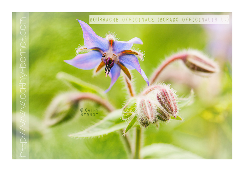 Bourrache officinale (Borago officinalis L.)